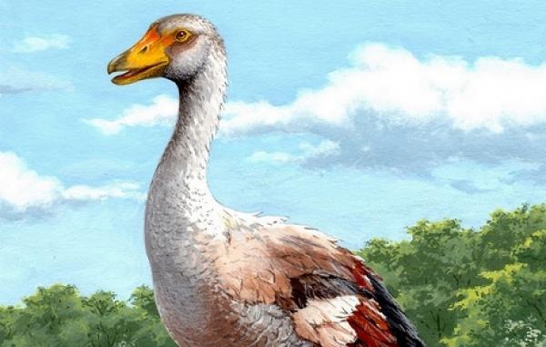 Oca gigante vissuta tra Gargano e Abruzzo oltre 5mln anni fa. Alta più di un metro, pesava 20 kg e usava ali per combattere.