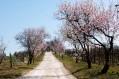 Anticipo di primavera in Capitanata. Sul Gargano mandorli già in fiore Clima sempre più pazzo.